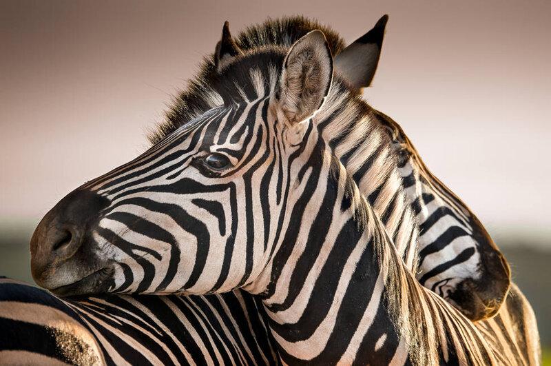الحيوانات ، والمشارب ، والاستراتيجيات ، والهروب ، والحيوانات المفترسة