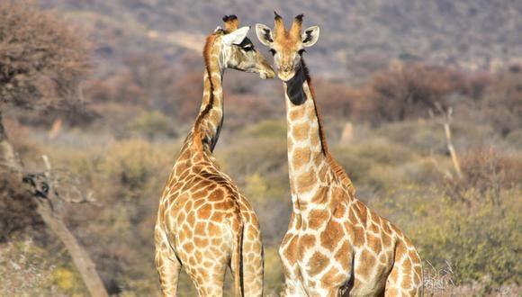 الثدييات ، الزرافات ، الحيوانات ، الأفيال ، السلوك ، الشباب