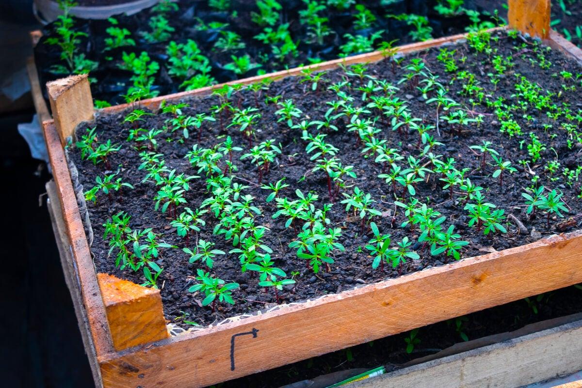 زراعة Cucamelon في المنزل.