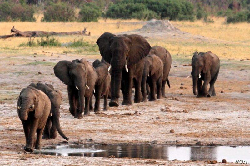 الفيلة والماء والجفاف والمحاصيل والصيد